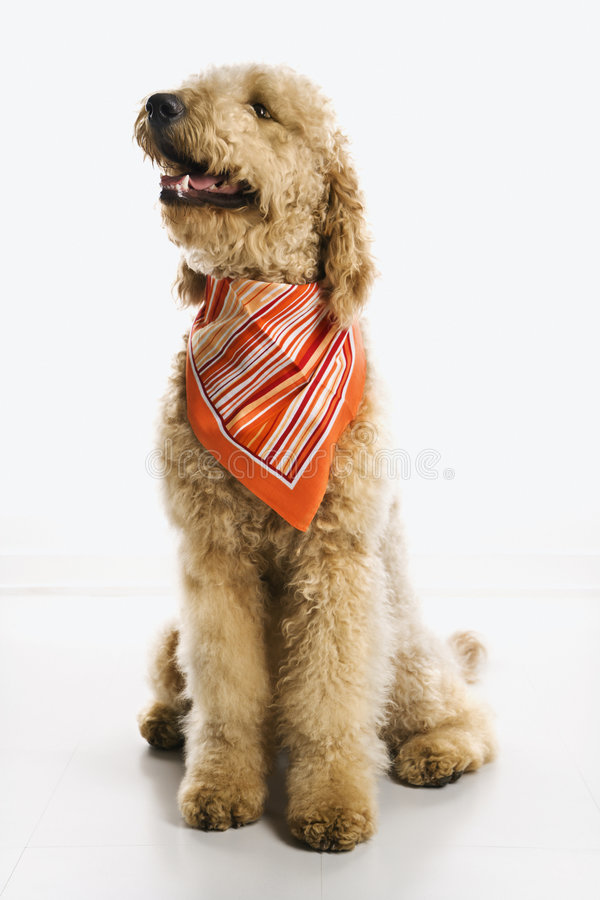 Dog Wearing Bandana Royalty Free Stock Photos