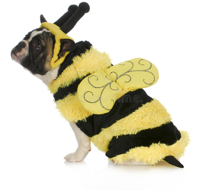 Dog wearing bee costume. French bulldog dressed up like a bumble bee on white background stock image