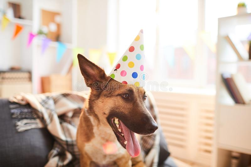 Dog Wearing Birthday Cap. Portrait of smiling dog wearing Birthday cap enjoying party, copy space royalty free stock photography
