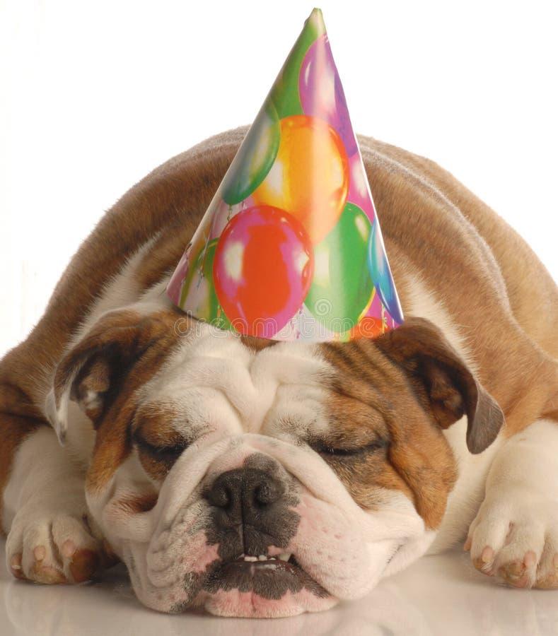 Dog wearing birthday hat. English bulldog wearing birthday party hat isolated on white background royalty free stock images