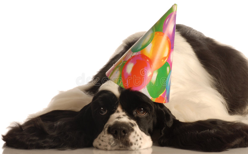 Dog wearing birthday hat. American cocker spaniel wearing colorful birthday hat royalty free stock photography