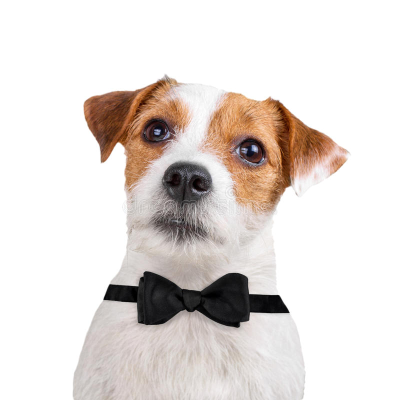 Dog wearing black bow tie royalty free stock photo