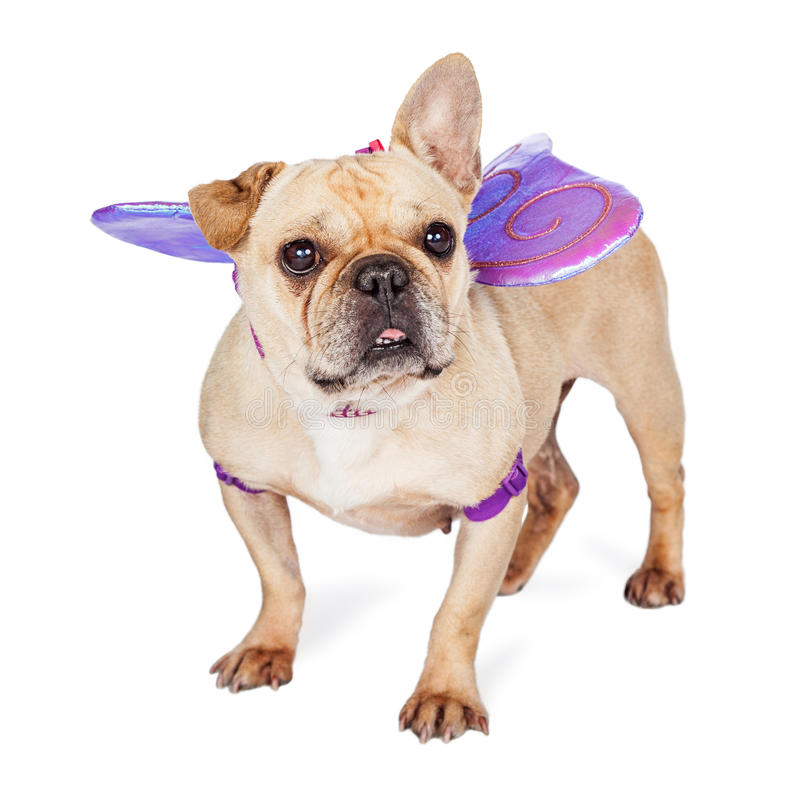 Dog Wearing Butterfly Wings royalty free stock image