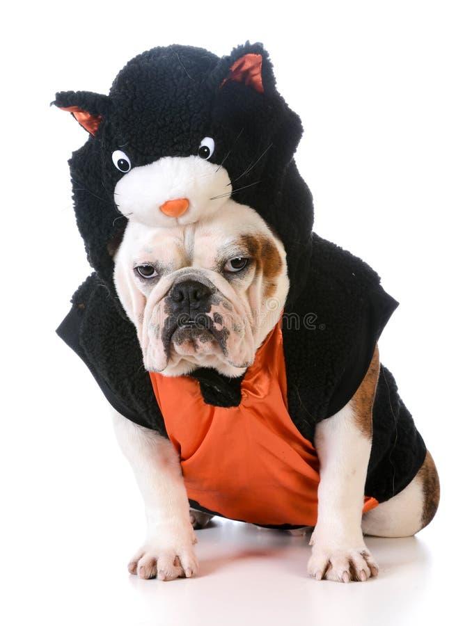 Dog wearing cat costume. On white background stock photos