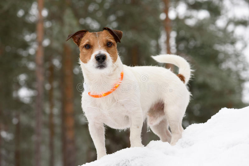 Dog wearing collar with LED diodes lights for traffic safety. Jack Russell Terrier standing on snow royalty free stock photos
