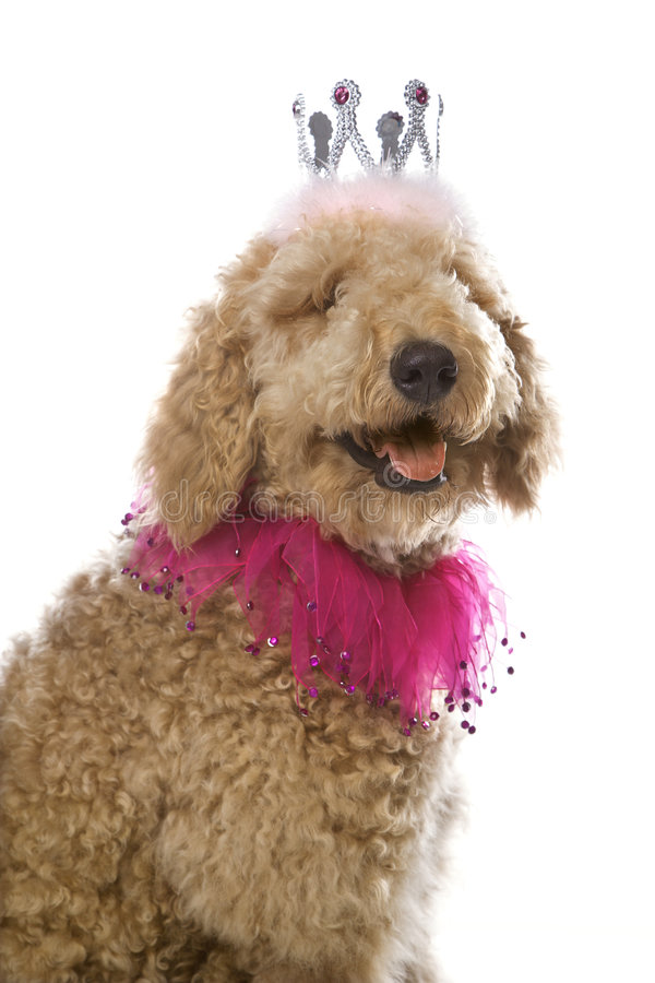 Dog wearing costume. Goldendoodle dog wearing a costume stock image