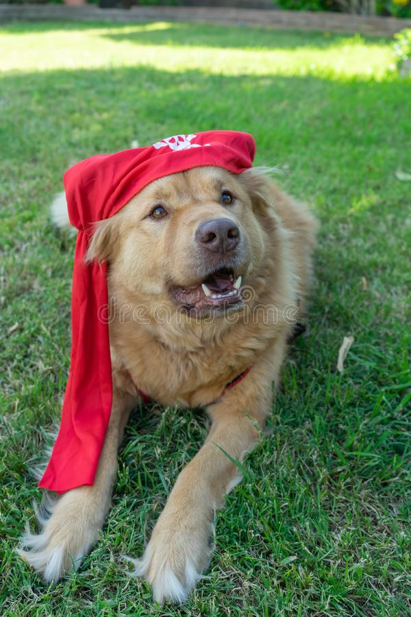 Dog wearing a costume pirate hat royalty free stock image