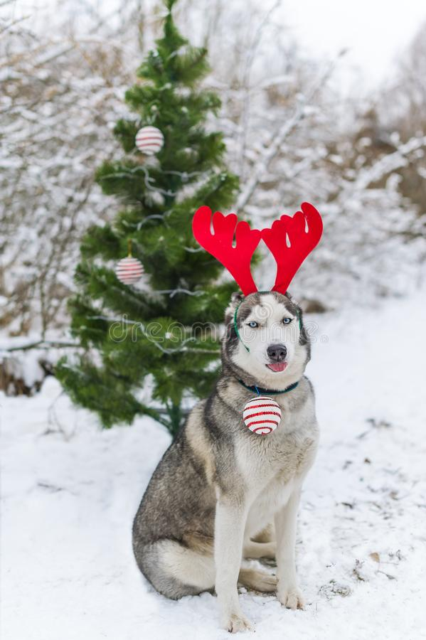 Dog wearing deer plush horns, husky dog in christmas decoration costume, funny portrait of dog in winter forest. Vertical portrait stock photo