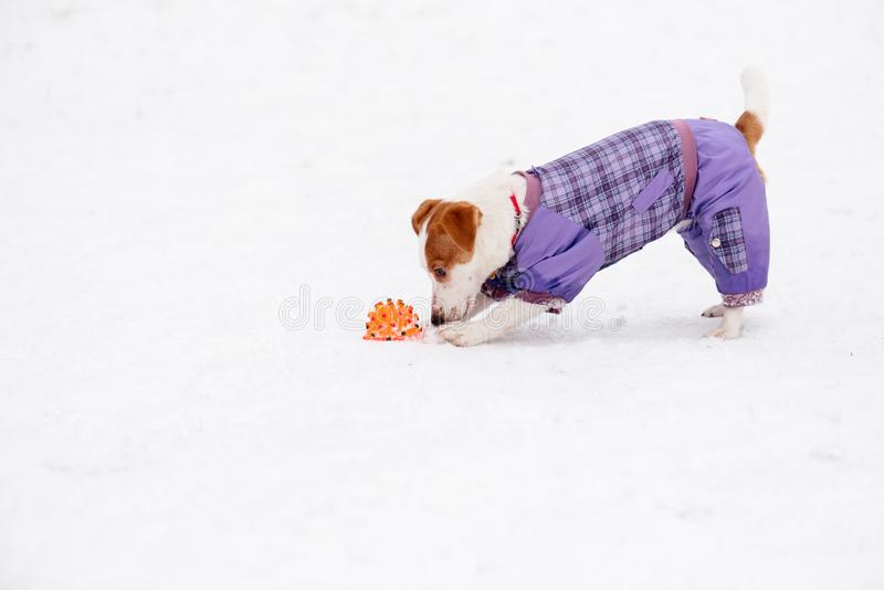Dog wearing fashionable suit playing with toy on snow royalty free stock photography