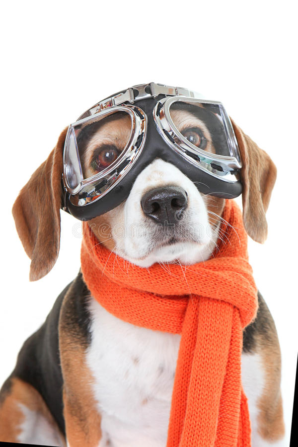Dog wearing flying glasses or goggles stock images