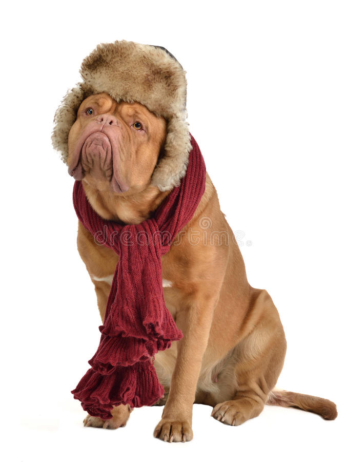 Dog wearing fur cap with ear flaps and a scarf. Isolated stock images