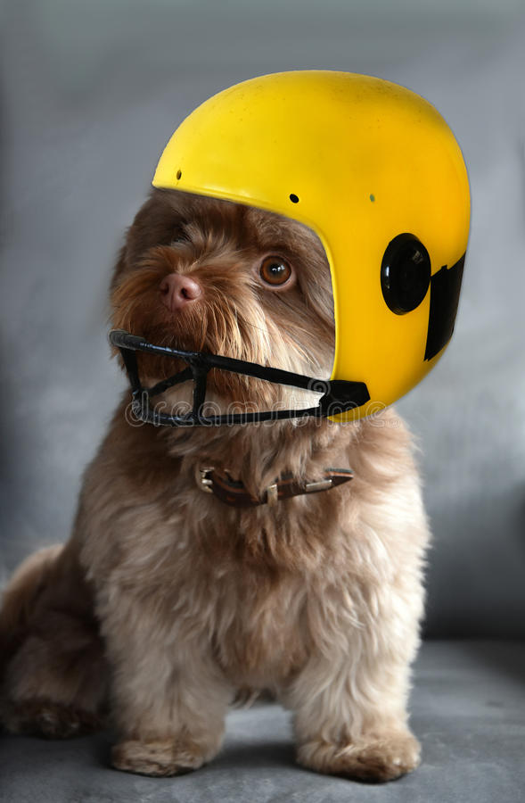 dog wearing a helmet stock image image of animal. Black Bedroom Furniture Sets. Home Design Ideas