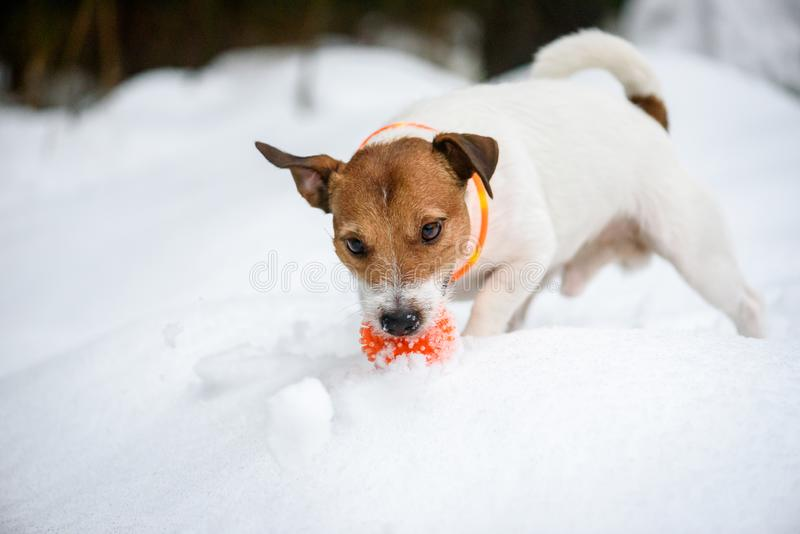 Dog wearing orange collar with LED lamps for safety at evening walk. Jack Russell Terrier playing with toy ball on snow royalty free stock images