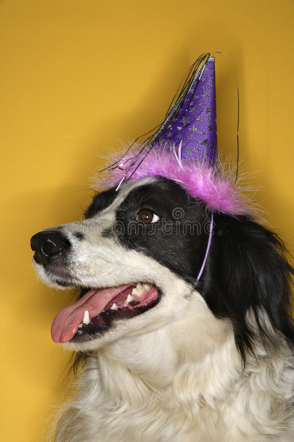 Dog wearing party hat. stock images