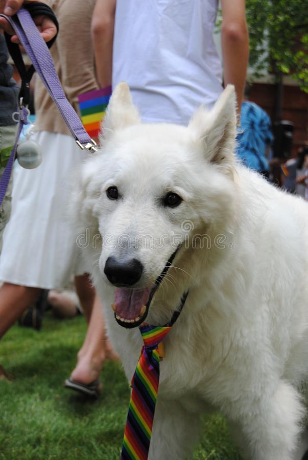 Dog Wearing a Rainbow Tie at a Pride Event, Pride Flag Raising, Rutherford, NJ, USA stock images
