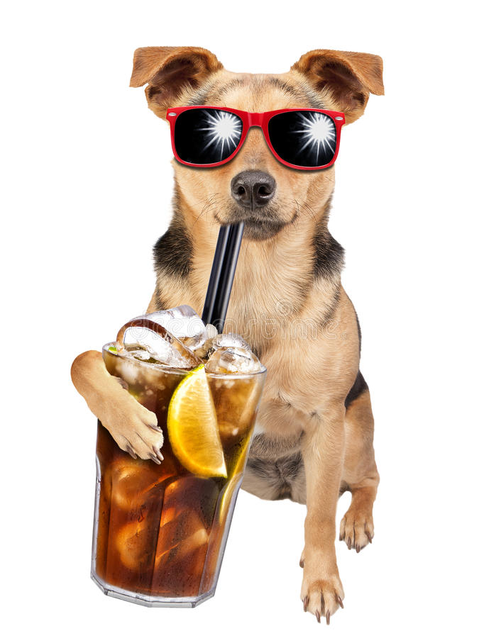 Dog wearing sunglasses drinking cuba libre cocktail isolated. Dog wearing sunglasses and drinking cuba libre cocktail isolated stock photography