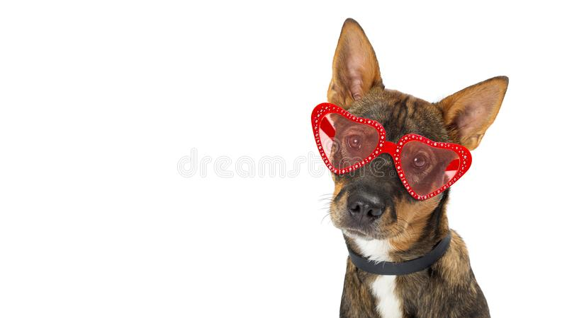 Dog Wearing Valentine Heart Glasses Banner. Closeup photo of cute dog wearing heart shaped Valentine`s Day sunglasses. Website banner with copy space royalty free stock photos