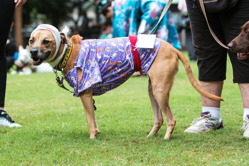 Dog Wears Hospital Patient Costume At Atlanta Doggy Con Event. Atlanta, GA, USA - August 18, 2018: A dog wears a head bandage and hospital gown as part of a royalty free stock images