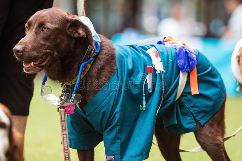 Dog Wears Lab Technician Costume At Atlanta Doggy Con Event. Atlanta, GA, USA - August 18, 2018: A dog wears medical scrubs and other equipment as part of a lab stock image