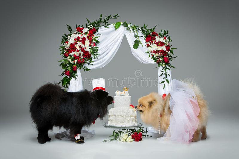 Dog wedding couple under flower arch. Beautiful spitz wedding couple eating dog cake under flower arch over grey background. dog bride in skirt and veil. groom royalty free stock images