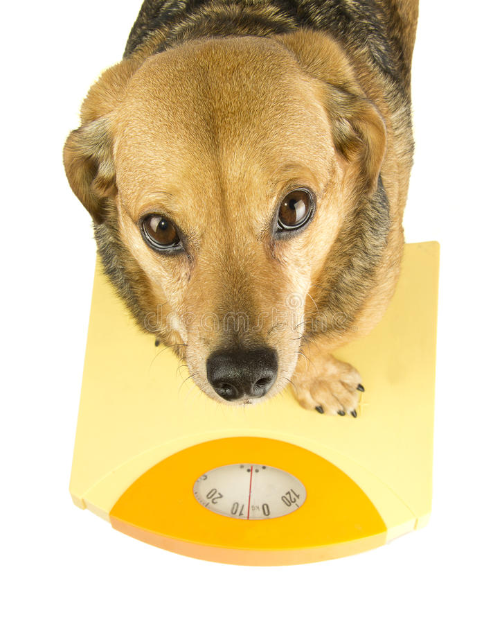 A dog weigh royalty free stock photo