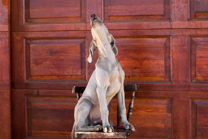 Download Dog weimaraner fotografering för bildbyråer. Bild av hörntand - 975023