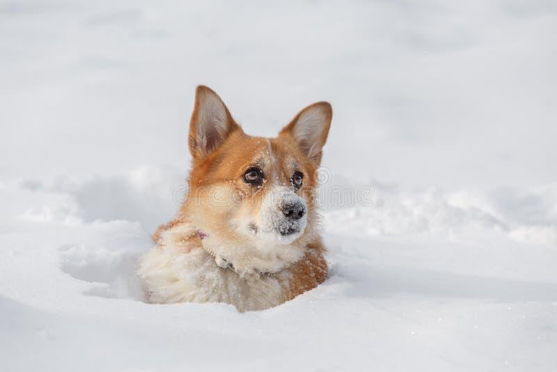 Dog Welsh Corgi cardigan in de winter in de sneeuw stock afbeelding