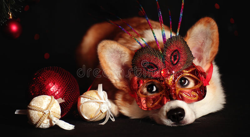 Dog welsh corgi in Masquerade Mask on a black background. Dog in Masquerade Mask. New Year, Christmas, Halloween and christmas balls stock photos