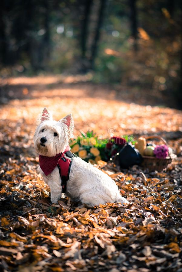 Dog Westie. The beautiful westie in the autumn season royalty free stock image