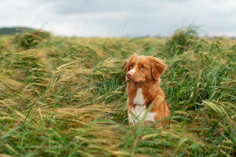 Dog in a wheat field. Pet on nature. Nova Scotia Duck Tolling Retriever, Toller. Happy dog in a wheat field. Pet on nature. red Nova Scotia Duck Tolling royalty free stock images