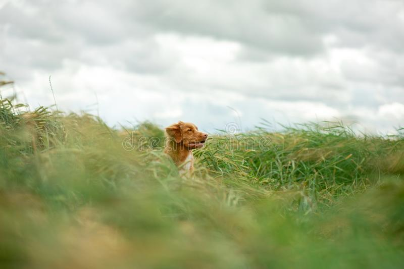 Dog in a wheat field. Pet on nature. Nova Scotia Duck Tolling Retriever, Toller. Happy dog in a wheat field. Pet on nature. red Nova Scotia Duck Tolling royalty free stock photo