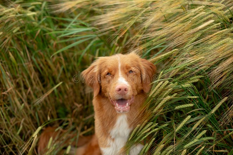 Dog in a wheat field. Pet on nature. Nova Scotia Duck Tolling Retriever, Toller. Happy dog in a wheat field. Pet on nature. red Nova Scotia Duck Tolling royalty free stock photography