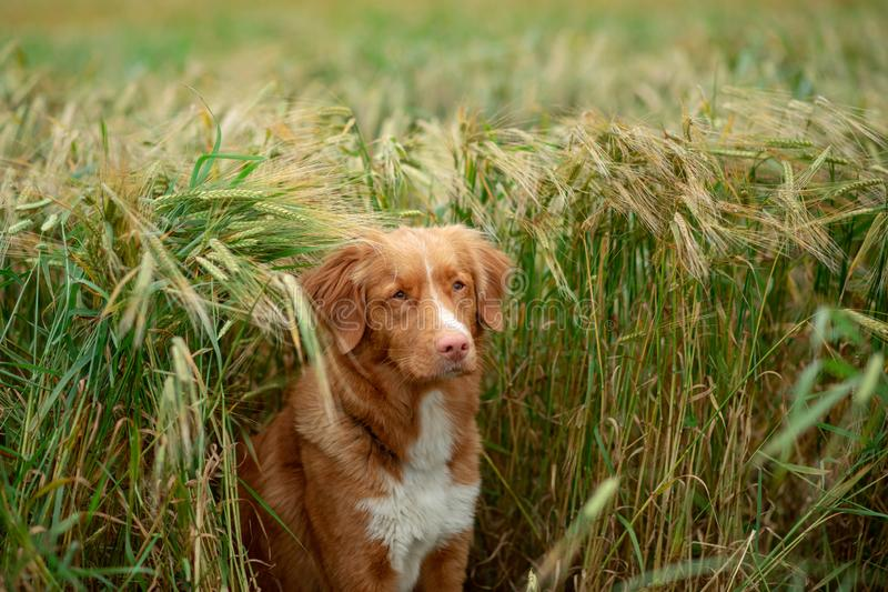 Dog in a wheat field. Pet on nature. Nova Scotia Duck Tolling Retriever, Toller. Happy dog in a wheat field. Pet on nature. red Nova Scotia Duck Tolling stock image