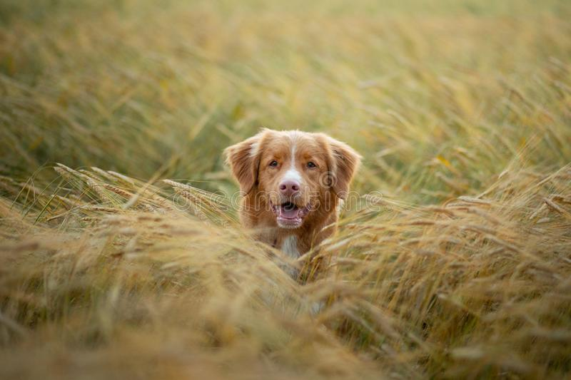 Dog in a wheat field. Pet on nature. Nova Scotia Duck Tolling Retriever, Toller. Happy dog in a wheat field. Pet on nature. red Nova Scotia Duck Tolling royalty free stock photos