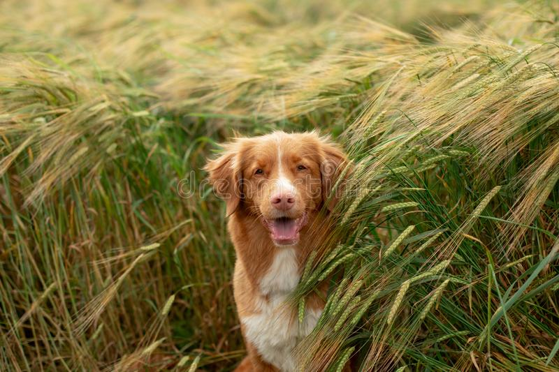 Dog in a wheat field. Pet on nature. Nova Scotia Duck Tolling Retriever, Toller. Happy dog in a wheat field. Pet on nature. red Nova Scotia Duck Tolling stock photography