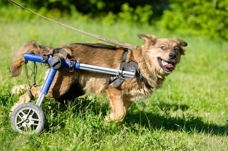 Dog in a wheelchair. In the garden stock photo