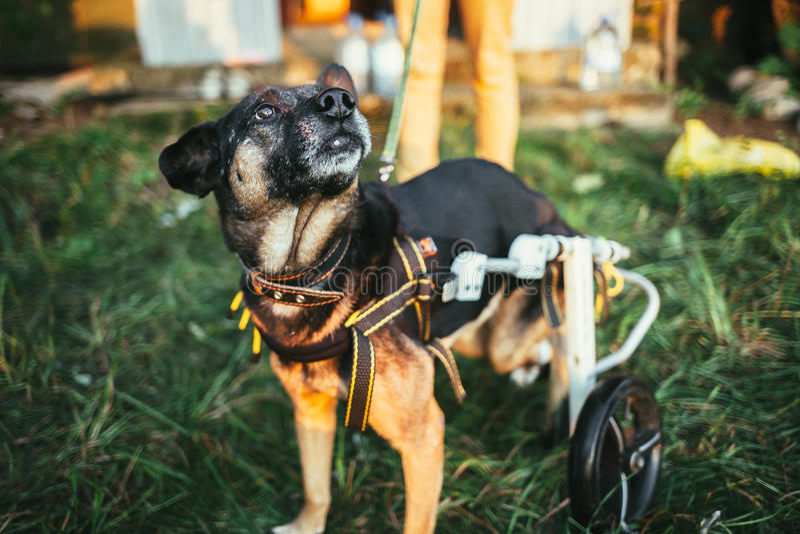 Dog wheelchair royalty free stock image