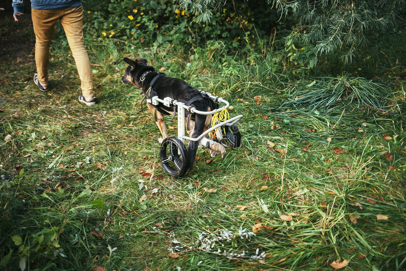 Dog wheelchair royalty free stock photography