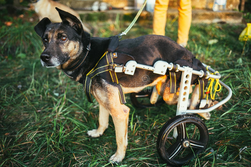 Dog wheelchair royalty free stock photos