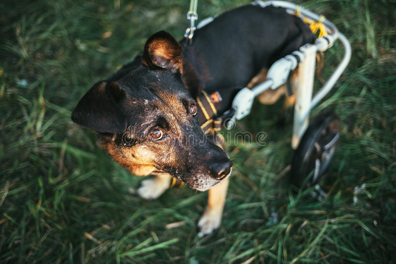 Dog wheelchair royalty free stock images