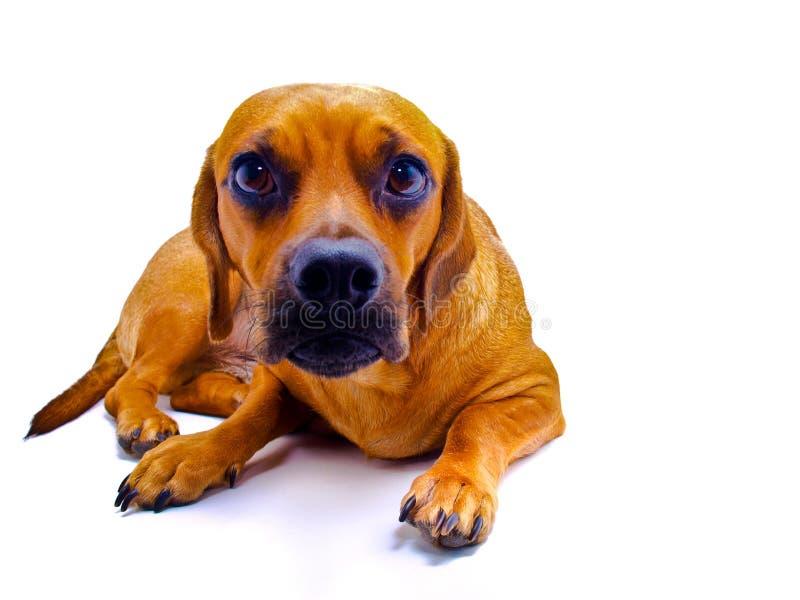 Dog on White stock images