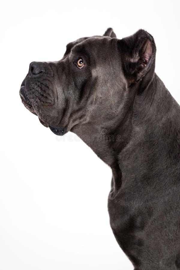 Dog on a white background. Gray dog Kenne Corso breed isolated on white background stock image