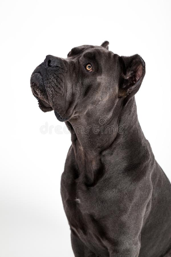Dog on a white background. Gray dog Kenne Corso breed isolated on white background stock photos