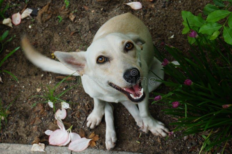 Dog. White looking ; cachorro olhando pra cima stock image