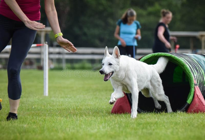 Dog White swiss shepherd in agility tunel. Amazing day on czech agility competition. They are middle expert it means A2 royalty free stock image