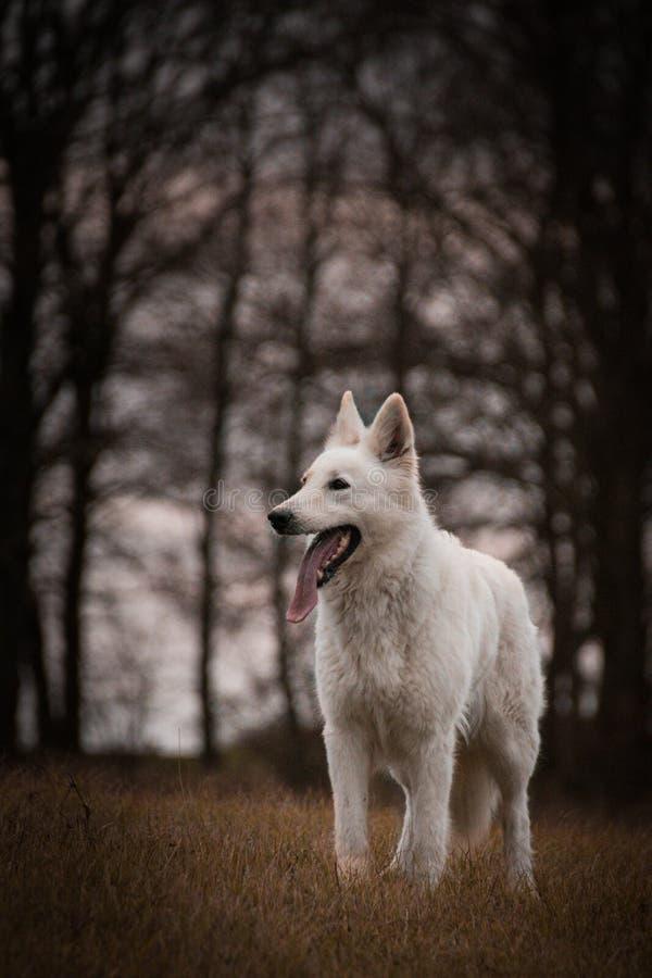 DOG - white swiss shepherd dog. Portrait of white swiss shepherd dog, who is standing in fron of forest. Photoshooting in small czech town Kou?im royalty free stock photos