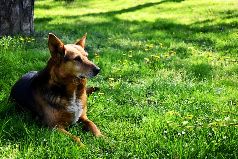 The dog who lays in grass at glade look in distance royalty free stock photography