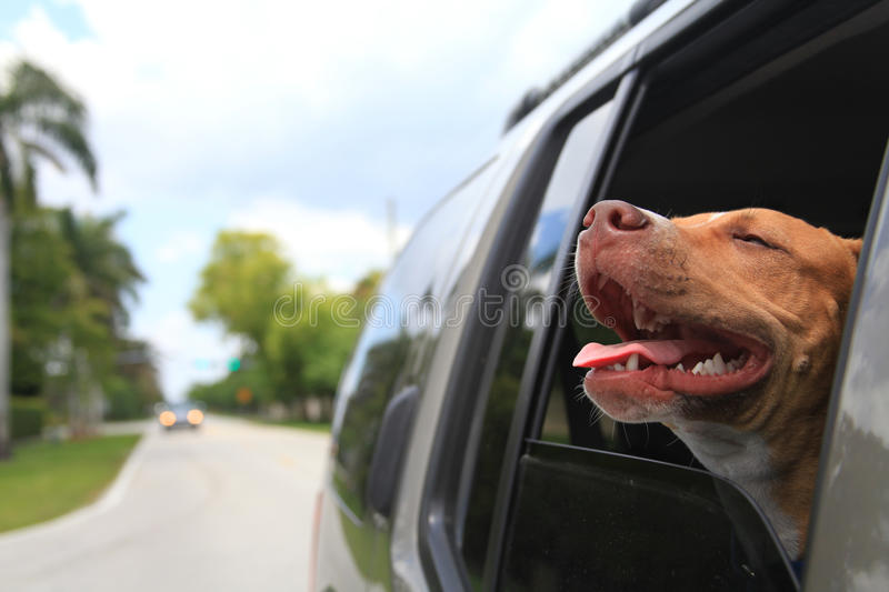 Dog in window. A dog enjoys a car ride with his head out the window