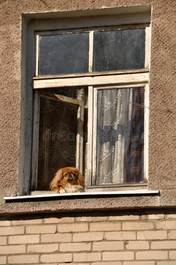 Dog in window royalty free stock images