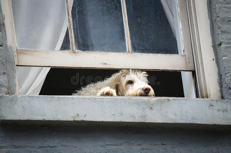 Dog in a window royalty free stock photos